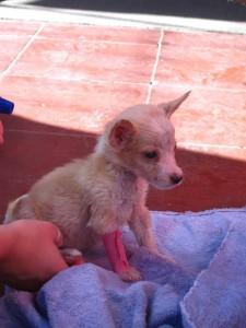 2012 Granada puppy 3