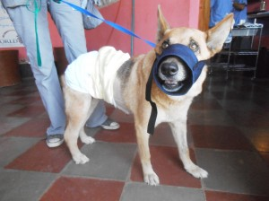 Lassi one day after surgery; fully recovered, healing well and ready to go home