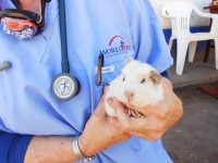 Cusco Peru Project: Guinea Pig