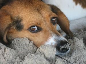 Suriname dog2