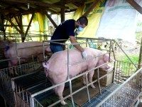 Dr. Springer Browne examines a pig