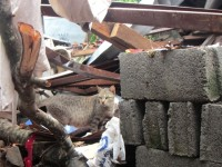 A cat in Tacloban city wanders through the rubble