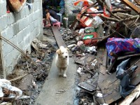 A dog wanders between houses in Tacloban City