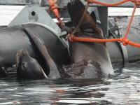 California sea lion impaled on bolt. NOAA PERMIT # 18786-03