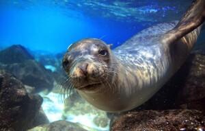 depositphotos_43498781-stock-photo-sea-lion-underwater-closeup-looking